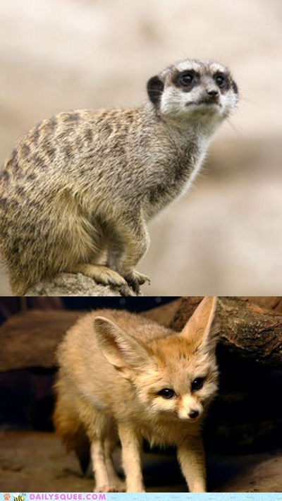 face off fennec fox meerkat squee spree versus