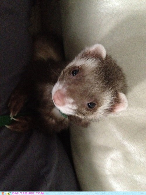 ferret lady mischief pet reader squee - 6379952128