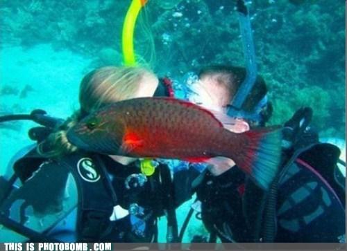 Animal Bomb couple fish kissing PDA - 6382360064