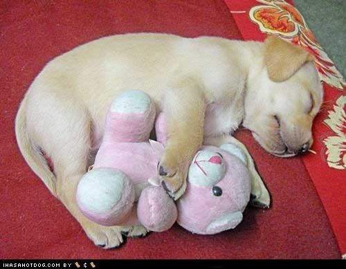 cyoot puppy ob teh day,dogs,puppy,teddy bear,yellow lab