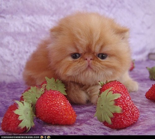 Cats,cyoot kitteh of teh day,fruit,kitten,orange,strawberries,strawberry,wtf