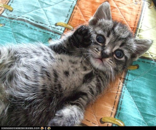 Cats cyoot kitteh of teh day kitten ohai paws waving - 6382913280