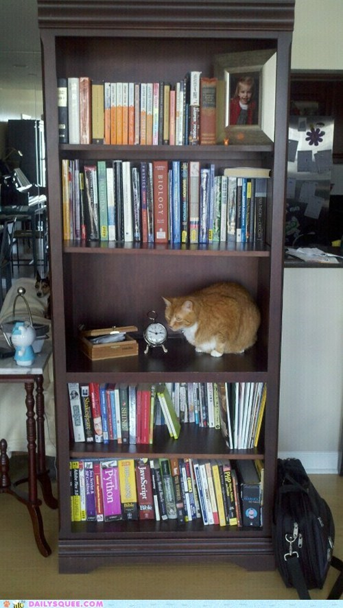 bookcase cat pet reader squee shelf