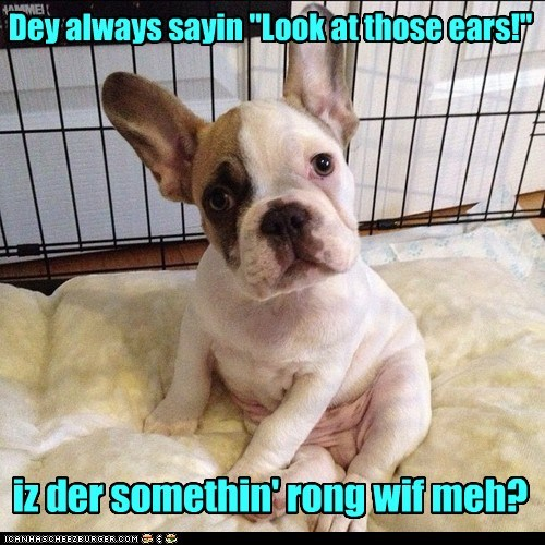 best of the week captions dogs ears french bulldogs Hall of Fame puppy whats-wrong-with-me - 6387718656