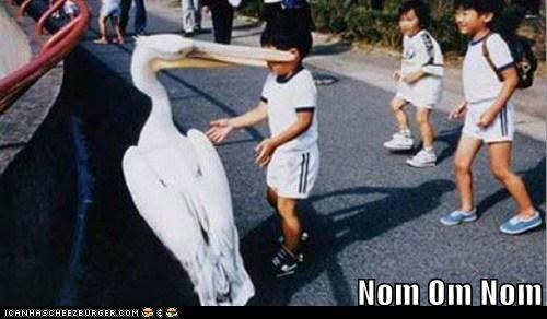bird,biting,kid,kids,om nom nom,pelican