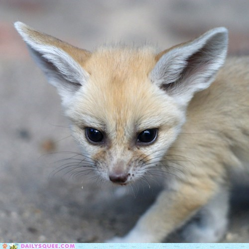 baby,ears,fennec fox,squee spree,winner