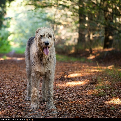 dogs Forest goggie ob teh week irish wolfhound winner
