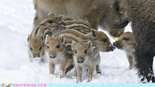 pig,Babies,winter,snow,boar,wild,Winter Is Coming