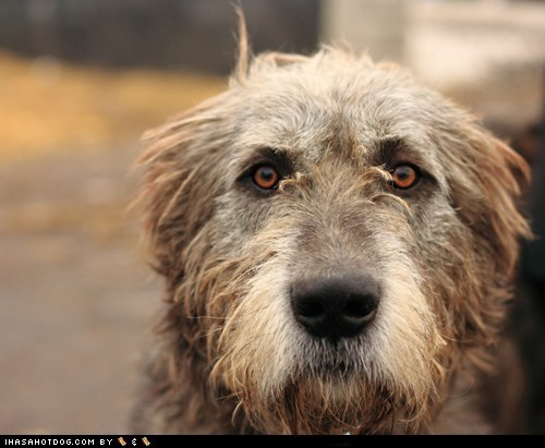 dogs goggie ob teh week hunting dog irish wolfhound shaggy