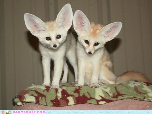 ears fennec fox fox listening squee spree