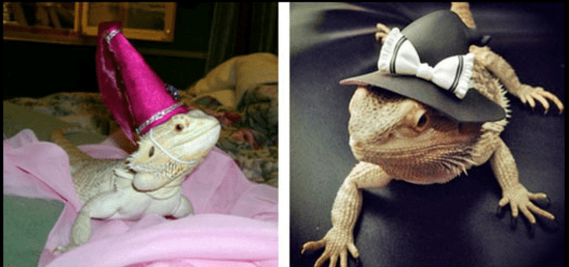 Cute bearded dragon lizards looking dashing while wearing top hats