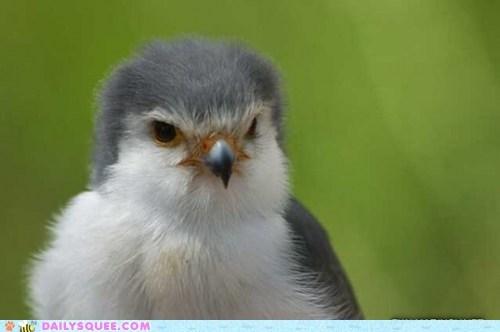 bird,floofy,serious,bird of prey,squee