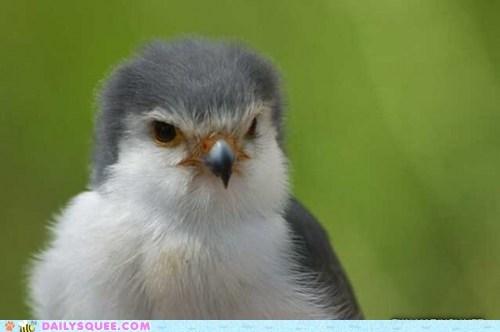 bird floofy serious bird of prey squee - 6392102656