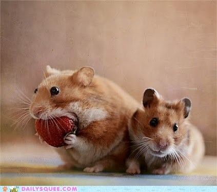 fruit,Hall of Fame,hamsters,strawberry,too big