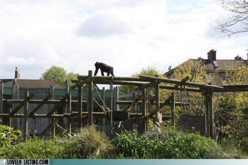 gorilla,house,zoo