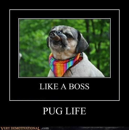cigar dogs pug thug life