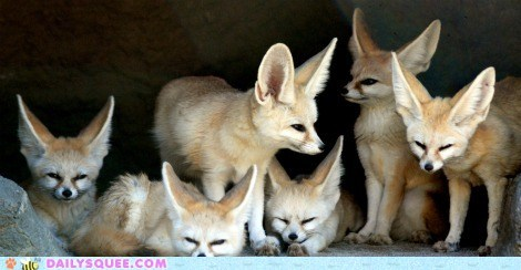 ears family portrait fennec foxes fox squee spree