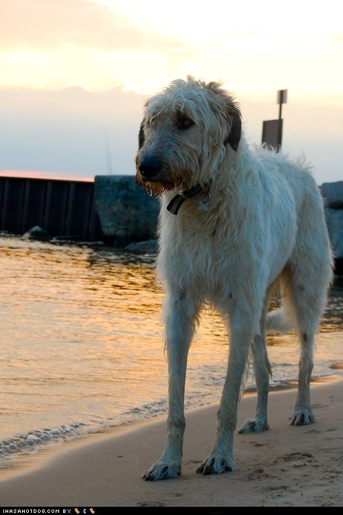 beach dogs furry goggie ob teh week irish wolfhound ocean