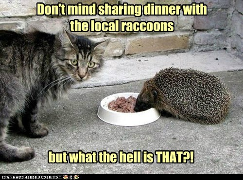 captions,Cats,dinner,food,hedgehog,hedgehogs,lolcat,lolcats,raccoon,raccoons,weird,wtf