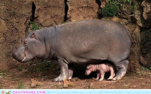 baby hippo hippopotamus mommy protect small tiny - 6399772416
