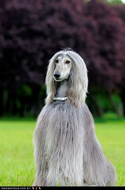 Afghan Hound dogs face off goggie ob teh week - 6400083456