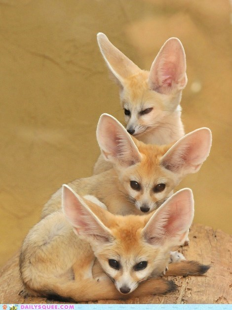 ears fennec fox fennec foxes squee squee spree three tiers - 6400292352