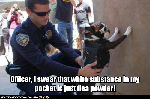 boston terrier,dogs,drug bust,flea powder,police