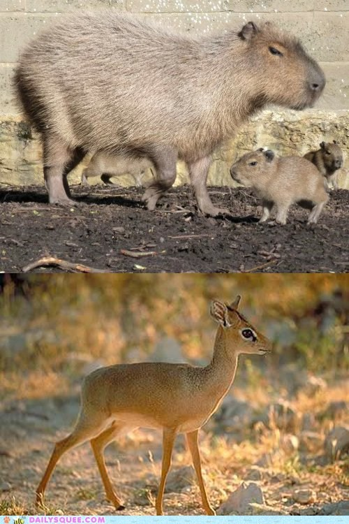 capybara,dik dik,face off,squee spree,versus