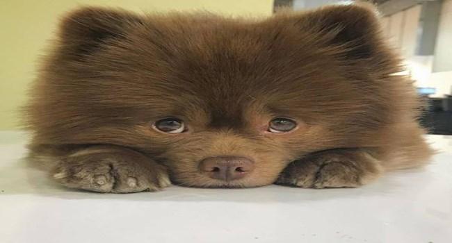 pomeranian dogs adorable cute - 6400517