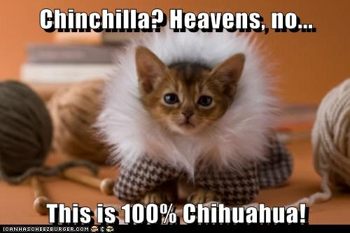 Cats chihuahua chinchilla coat fashion fur style - 6400908544