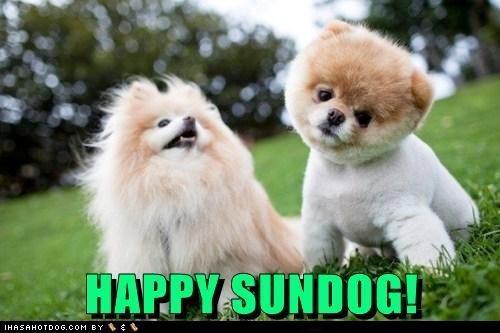 grass happy sundog pomeranian summer Sundog