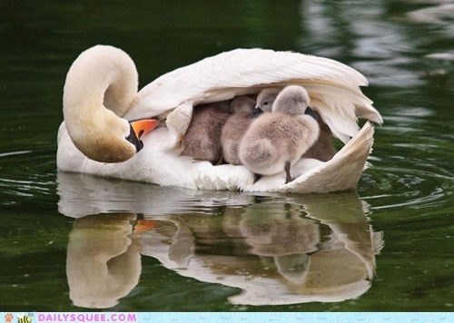 swan Babies cygnet swimming mommy bird lake squee - 6403397632