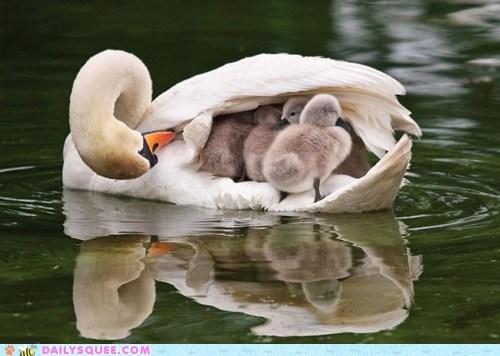 swan Babies cygnet swimming mommy bird lake squee - 6403397632