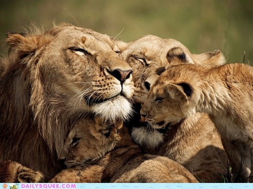 baby,big cats,lions,mom and dad,quality time