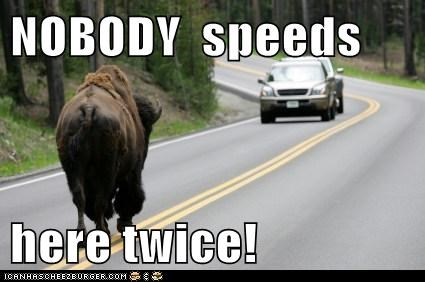 buffalo,car,driving,law,nobody,road,slow down,speeding