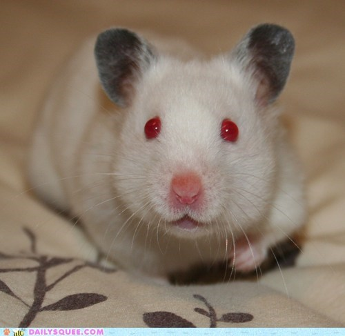 hamster nosey pet reader squee red eyes - 6405900544