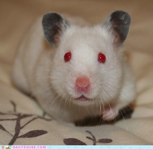 hamster pet reader squee red eyes - 6405900544