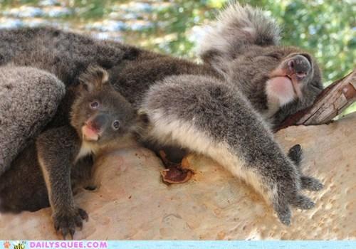 tree hugger baby mommy koala squee marsupial - 6406894592