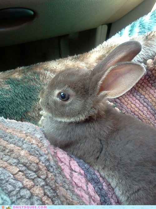 bunny car ride chilling out pet reader squee