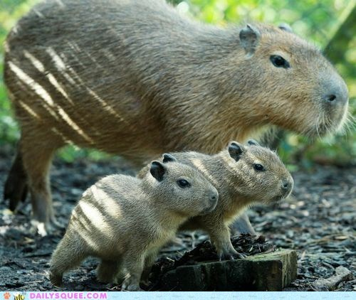 baby,capybara,daddy,squee spree,twins,winner