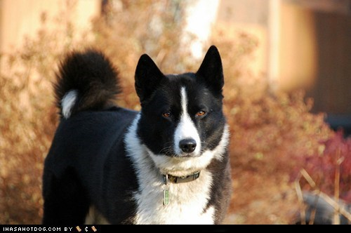 dogs goggie ob teh week karelian bear dog winner - 6410742016