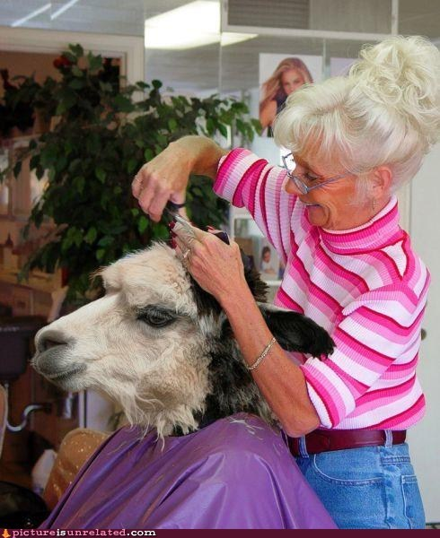 animals,haircut,llama,snip,wtf