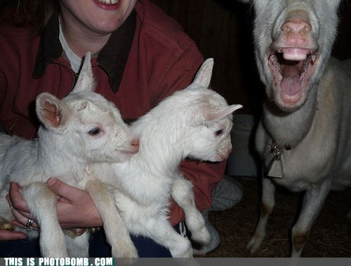animal,Animal Bomb,cute,goat,gums
