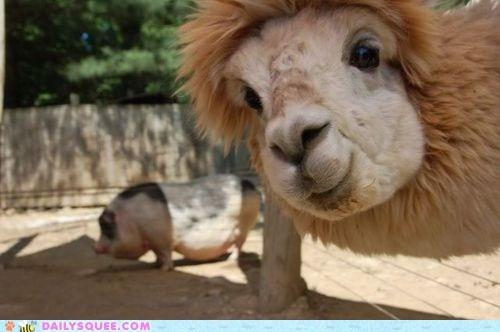 floofy llama photobomb photograph pig squee - 6411314176