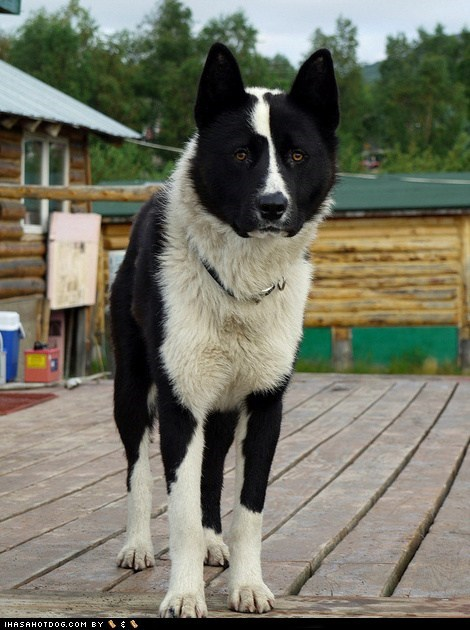 dock dogs goggie ob teh week karelian bear dog