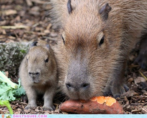 baby,capybara,mommy,snack,squee spree,sweet potato