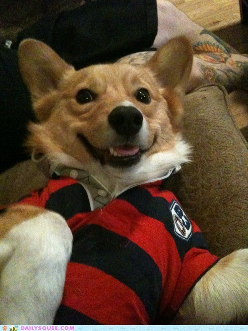 corgi,dogs,pet,play,polo shirt,reader squee