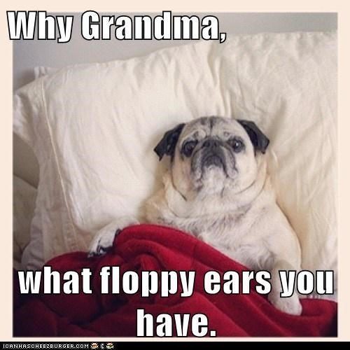 bed,blanket,captions,dogs,floppy ears,grandma,pug