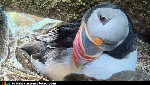 breed,cute,Life Sciences,puffins,zoo
