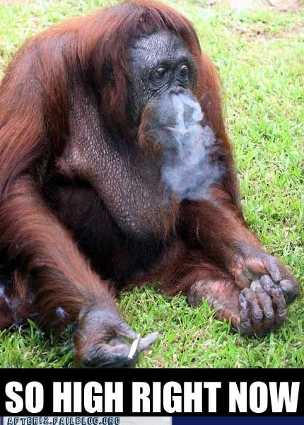 crunk critters,have you ever been,orangutan